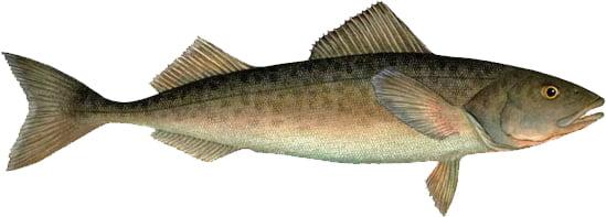 How the Sablefish oil use?