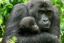 How Recycling phones can Save Gorillas