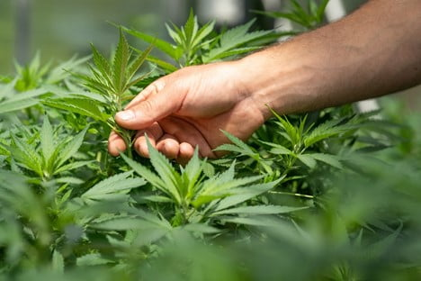 4 Potential Benefits of Cannabis