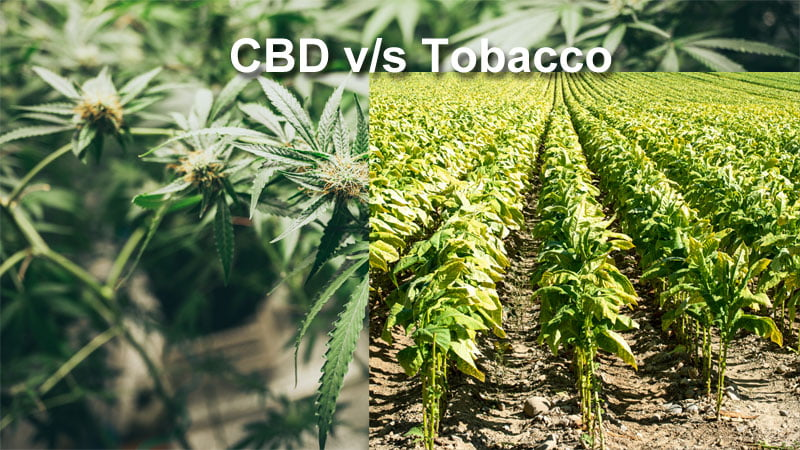 CBD vs. Nicotine: Where Do They Come From and What Do They Do?